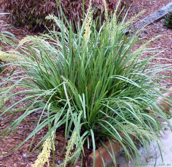 Dwarf Mat Rush Lomandra Longifolia Lomandra Hardy Plants Native Garden