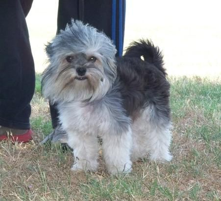 Adopt Petrie Patrick On Petfinder Yorkie Dogs Support Dog Yorkie