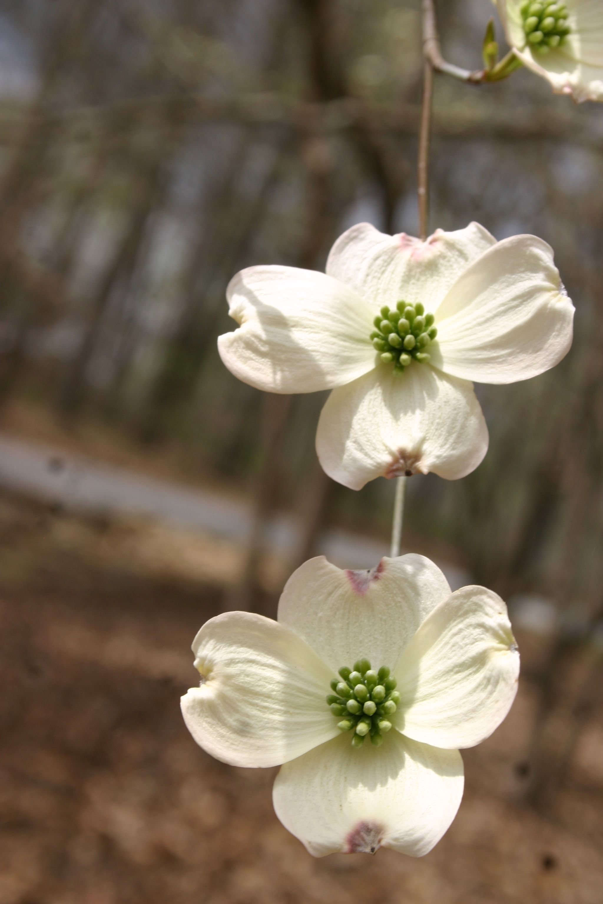 This beautiful picture of Dogwood flowers was taken by a child at the Eagle Ranch School. What is your favorite Spring bloom? :) #spring #flowers #dogwood