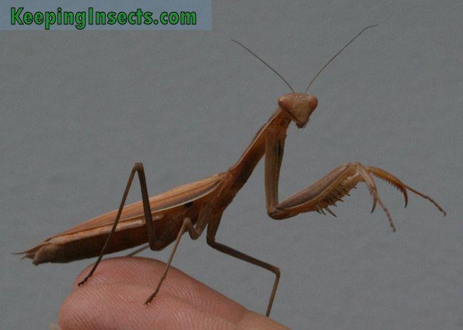 European Mantis Mantis Religiosa Praying Mantis European Species