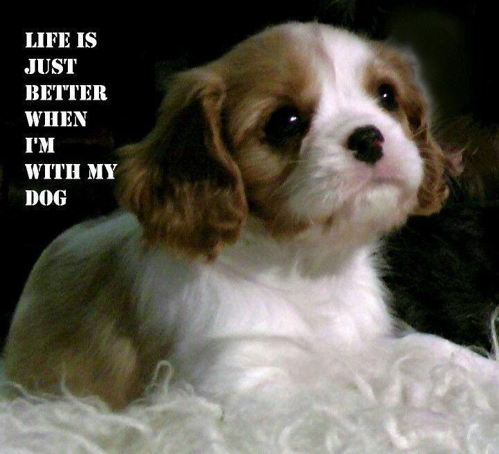 Cavalier King Charles Spaniel Puppy Cavalier King Charles Dog King Charles Cavalier Spaniel Puppy King Charles Dog