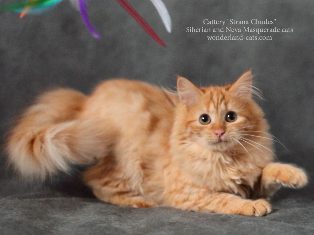 Siberian Beautiful Cute Funny Kitten Red Color In The Cattery