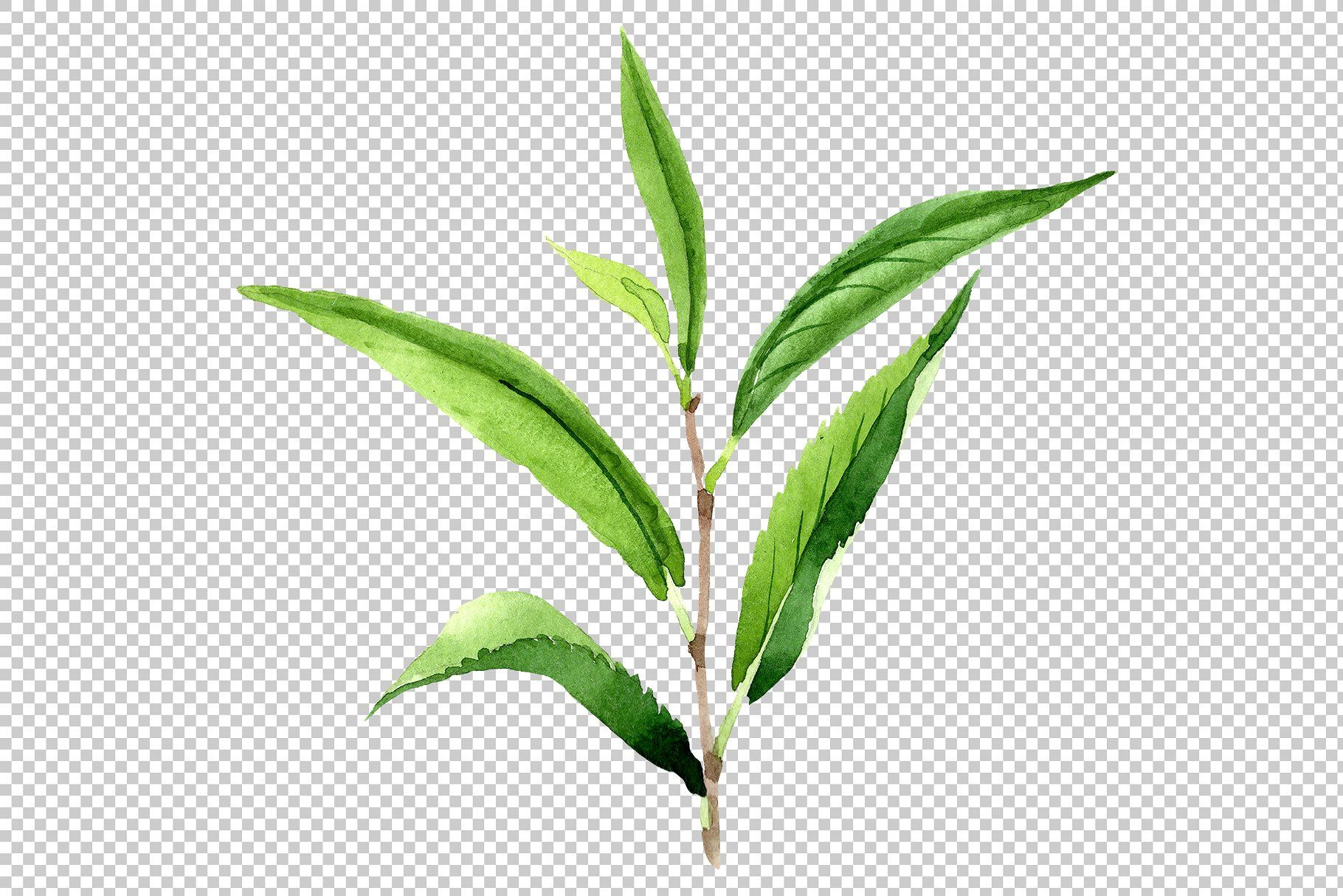 Tea Leaf Png Watercolor Set Tea Leaves Illustration Leaf Illustration Tea Leaves
