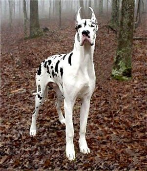 Harliquin Great Dane This Will Be Mine And Dans First Dog No Ear