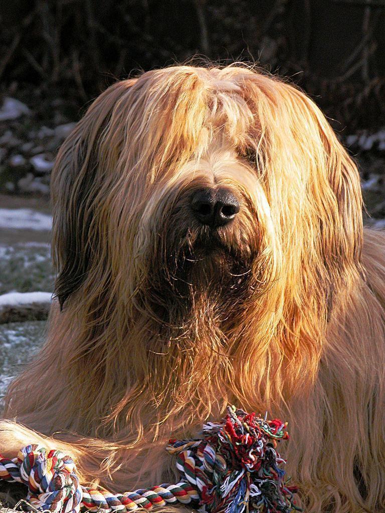 Google-Ergebnis für http://view.stern.de/de/original/87719/Hund-hunde-Hundeportrait-hundekopf-Huetehund-Briard-Hirtenhund.jpg