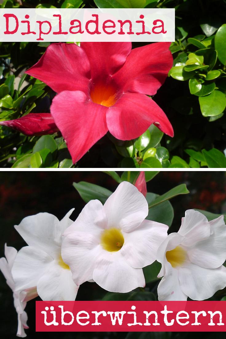 Dipladenia Uberwintern Blumen Pflanzen Gemuse Pinterest