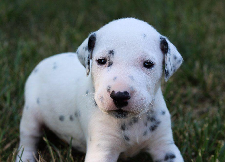 Kobe AKC Dalmatian doggie for sale near Woodburn