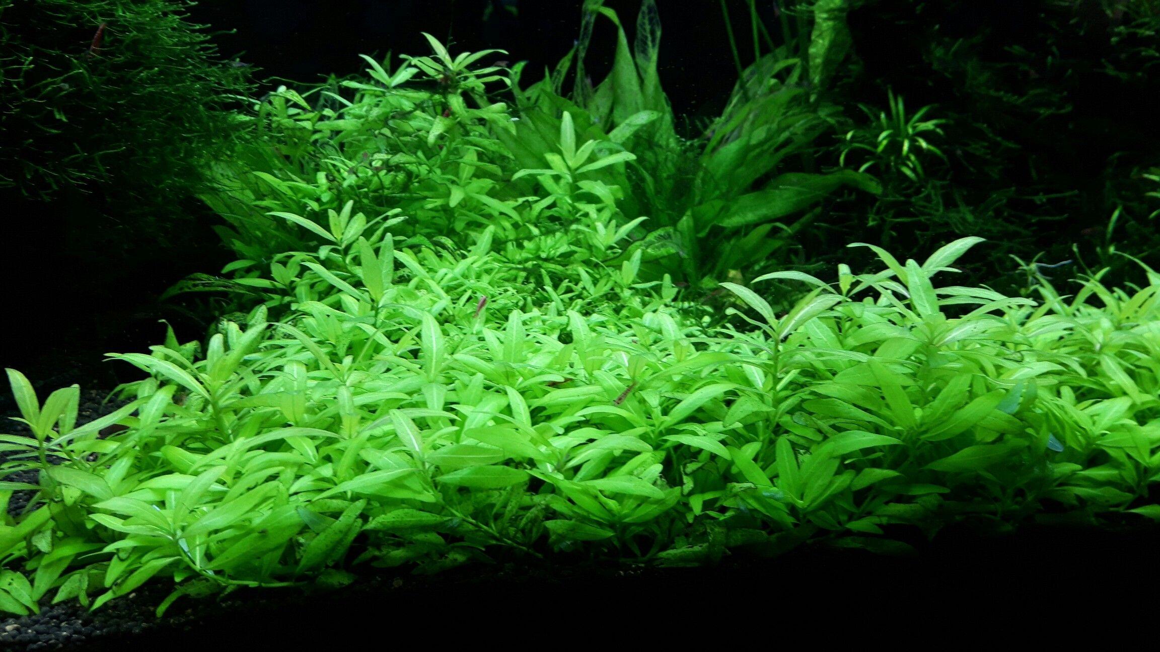 hornblatt hornkraut ceratophyllum demersum algenmittel algenbekaempfung aquarium ohne chemie Aquarium Pinterest