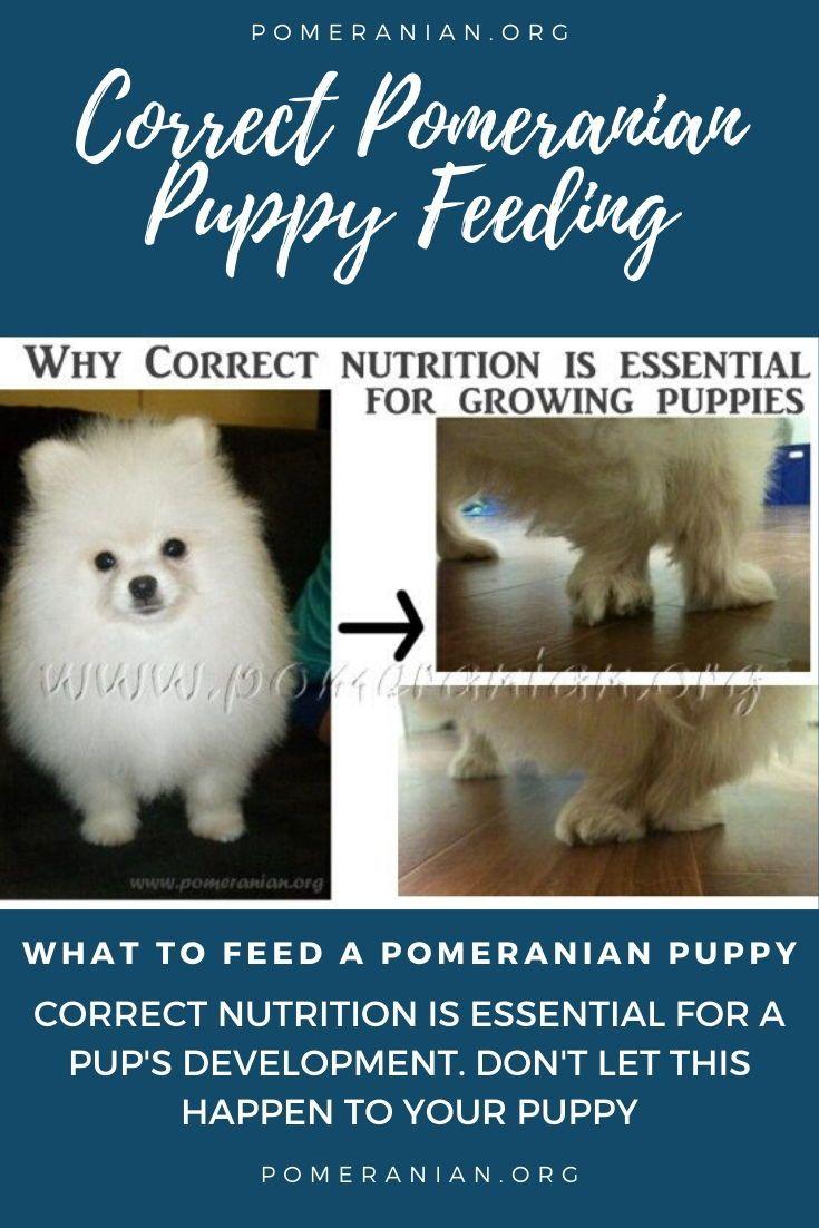 Pomeranian Puppy Feeding Guide in 2020   Pomeranian puppy ...