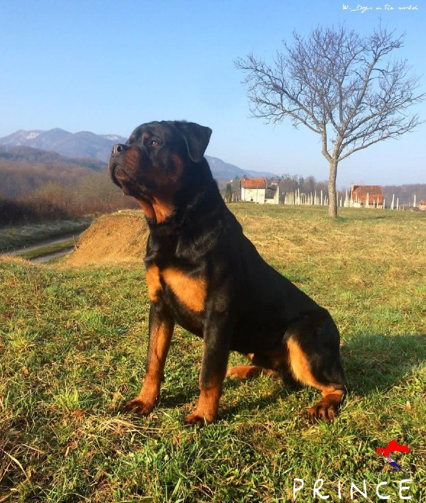 Prince From Croatia Rottweiler Rottweiler Big Dogs Dogs