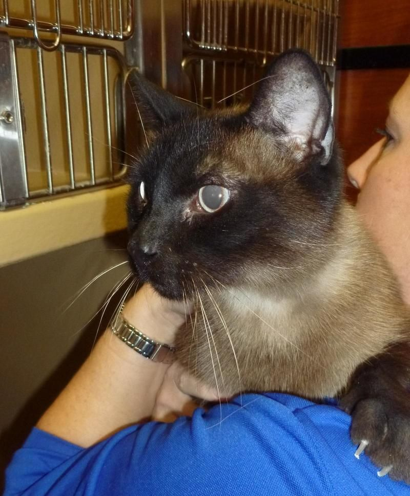 Adopt LADDIE is at Petsmart on Animals, Animal shelter, Cats
