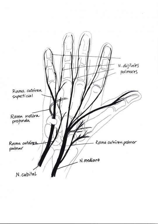 Recorrido nervios palma de la mano.jpg (542×768) | anatomia ...