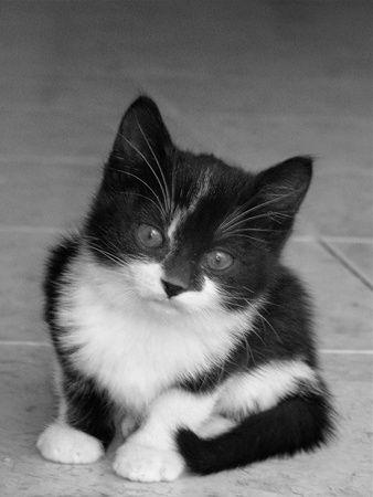 chat noir et blanc chats et chatons