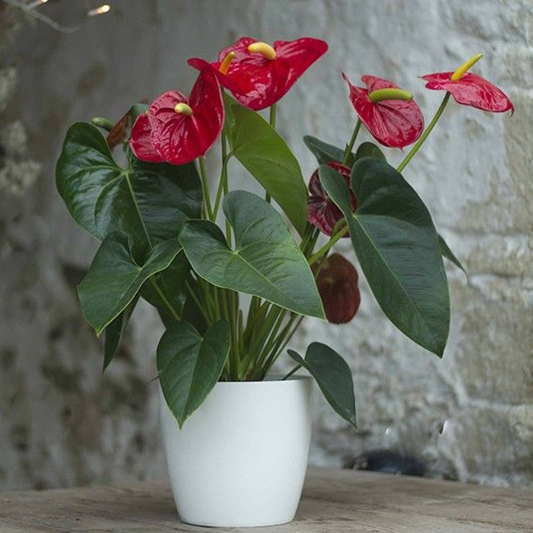 Name Flamingo Flower Size Of Tree 30 Inch Application Potted Plant Indoor Plant Temperature Average Cost Buy Indoor Plants Plants Indoor Plants