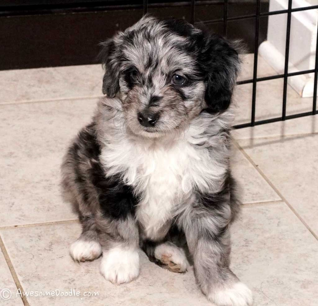 Emma The Toy Size Blue Merle Aussiedoodle Awesomedoodle Aussiedoodle Blue Merle Black Lab Puppies