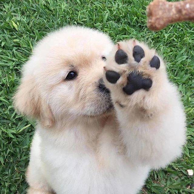 Golden Retriever Puppies Labrador Retriever Golden Retriever Puppy