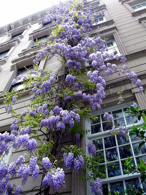 Every Building In The World Should Have A Wisteria Growing Up It Planting Flowers Plants Beautiful Gardens