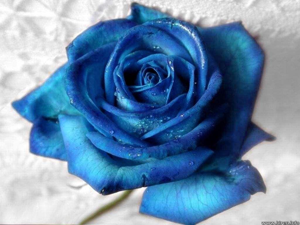 Roses Photo Colorful Roses Blue Roses Blue Roses Wallpaper Blue Rose Wallpaper