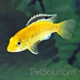 Yellow Labidochromis Scientific Name Labidochromis