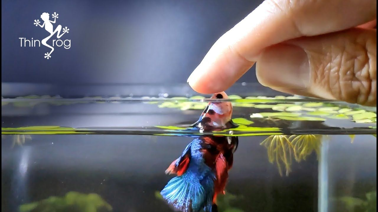Betta Fish Male Vs Female In High Jump Youtube Betta Fish Betta Fish Tank Betta