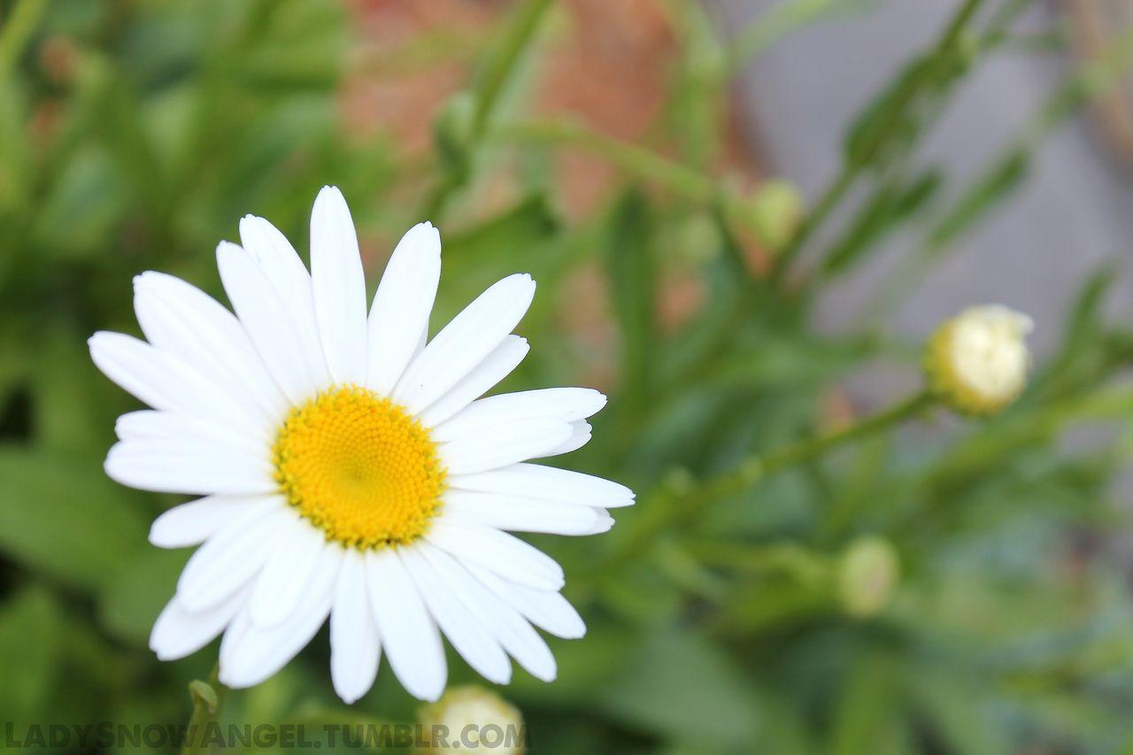Daisy ladysnowangeltumblr my photography flowers daisy ladysnowangeltumblr izmirmasajfo