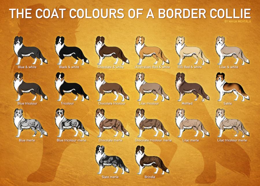 Border Collie Coat Colours By Bauermaik On Deviantart Border Collie Colors Border Collie Collie