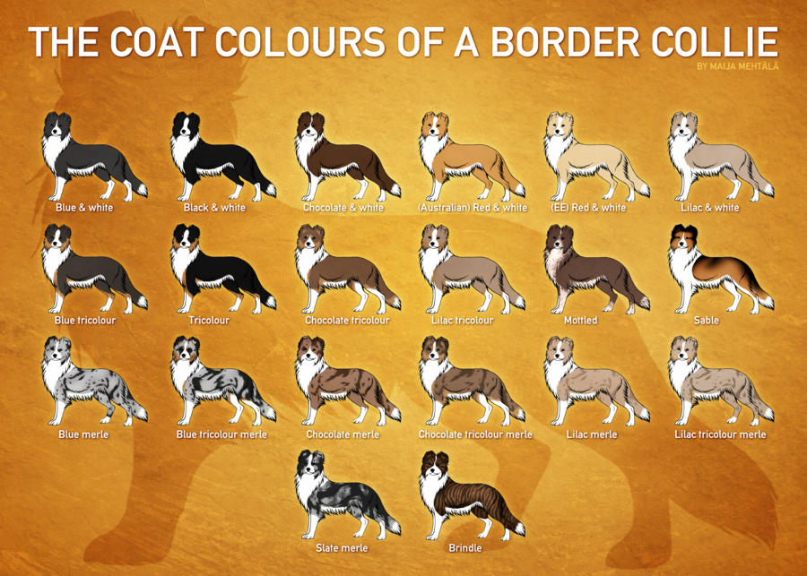 Border Collie Coat Colours By Bauermaik On Deviantart Border Collie Border Collie Colors Border Collie Merle