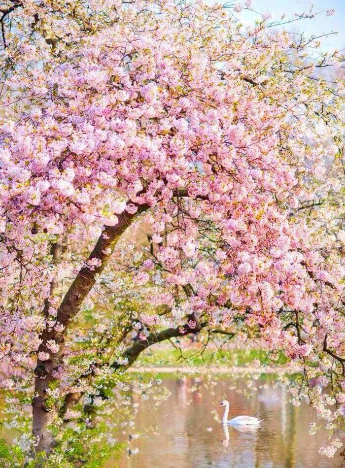 Pin By Angel E Arellano On Beautiful Spring Pink Blossom Tree Blossom Trees Pink Blossom