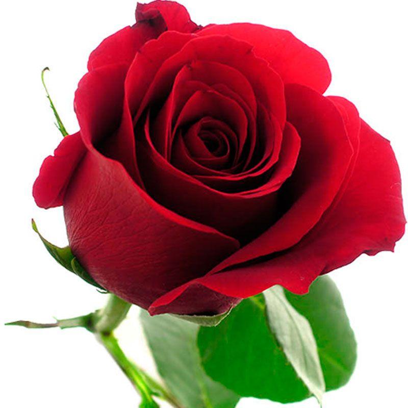 Rosas 800 800 flores pinterest - Fotos flores preciosas ...
