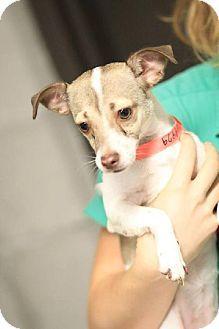Yuma Az Chihuahua Meet Sasha A Dog For Adoption Http Www