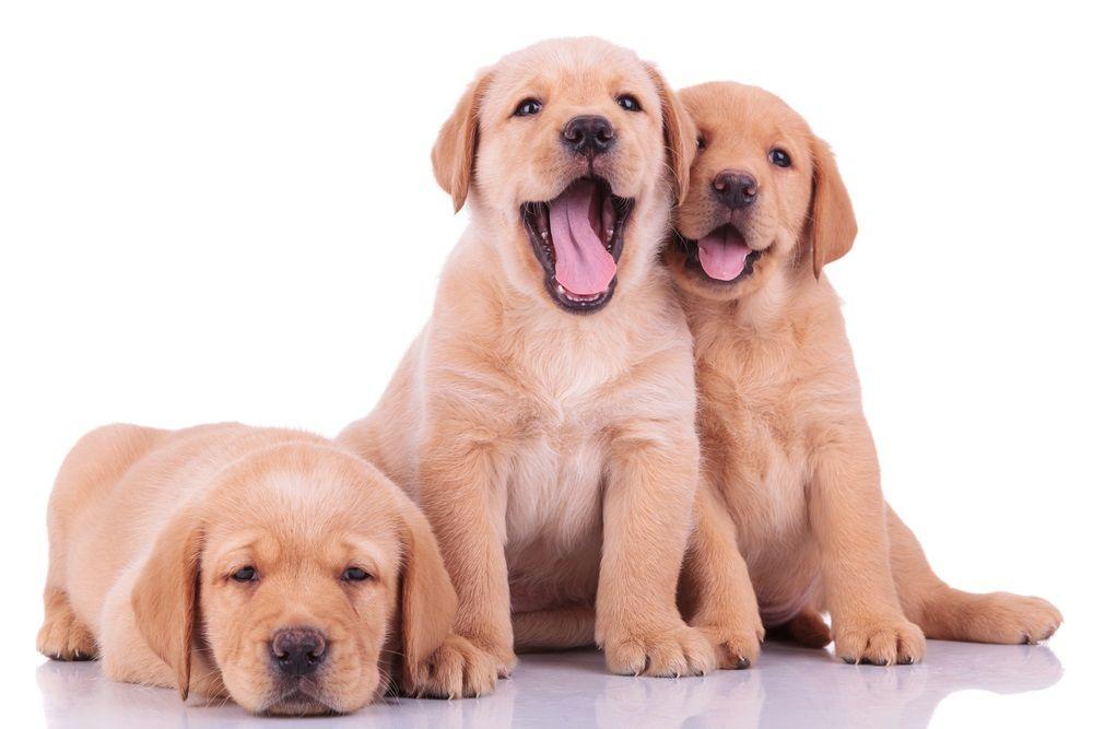 2000 Popular Cute And Unique Names For Your Pets Dog Names Dogs Names For Dogs Pet Names Labrador Retriever Retriever Puppy Golden Retriever