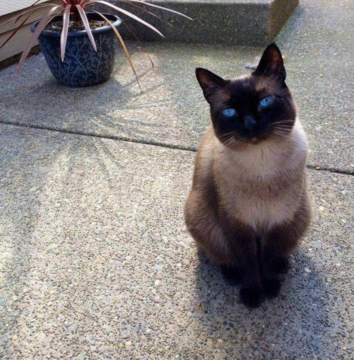 Beautiful Siamese cat. Siamese cats, Beautiful cats