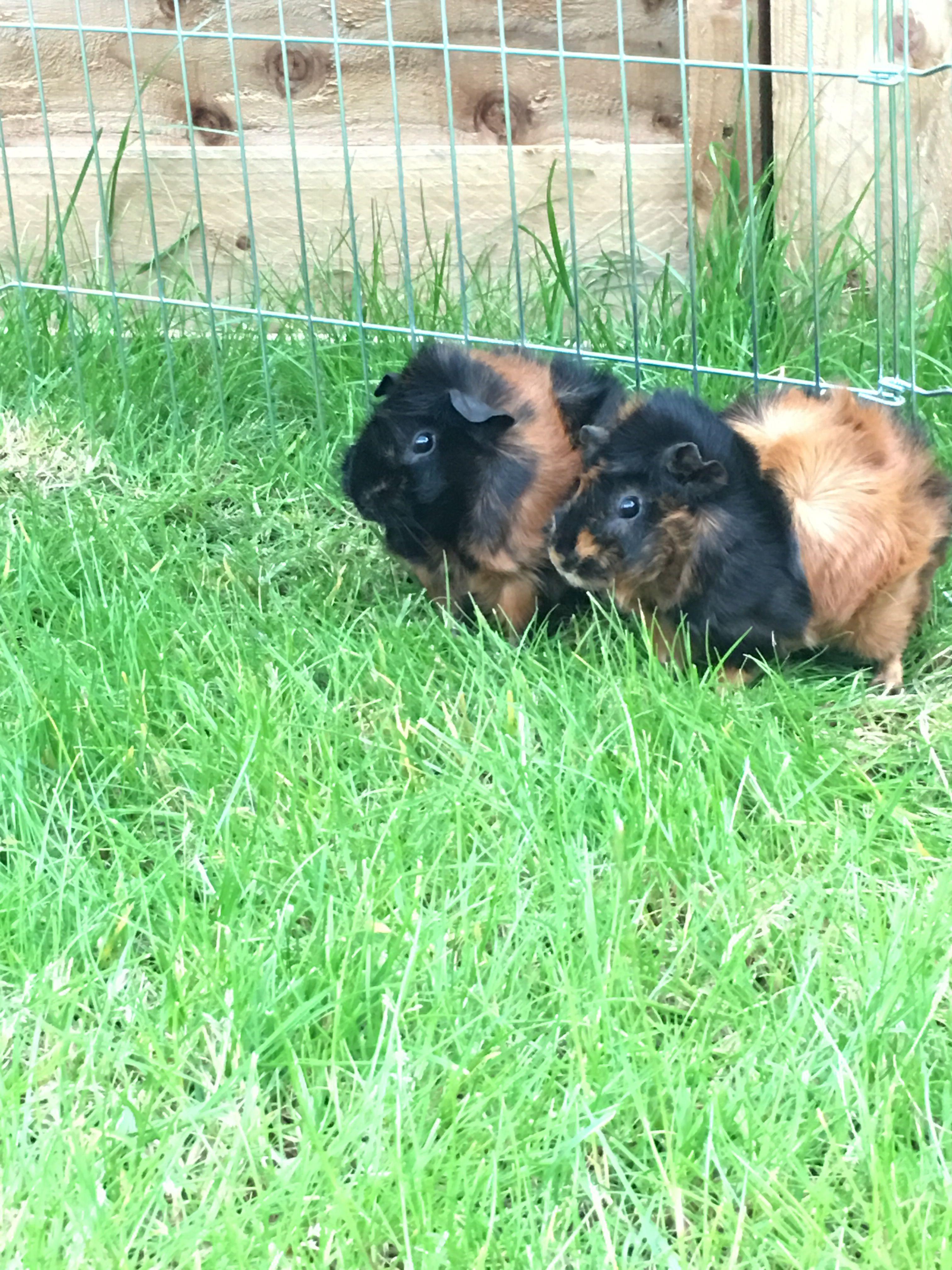 My 2 Guinea pigs