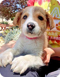 Trinidad, CO - Australian Shepherd/Australian Cattle Dog Mix. Meet Rose Bud, a puppy for adoption. http://www.adoptapet.com/pet/15883874-trinidad-colorado-australian-shepherd-mix