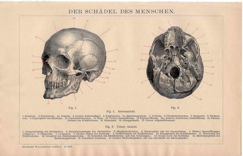 human skull anatomy - Google Search | Halloween - Vintage | Pinterest