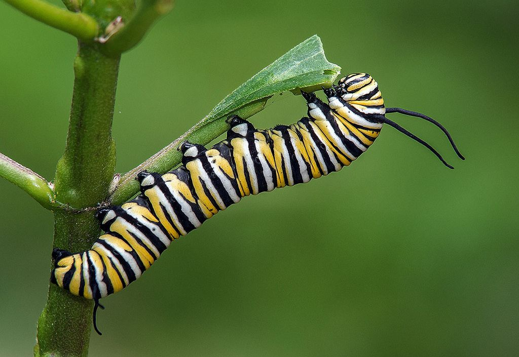 Monarch Caterpillar eating milkweed leaf. Fairchild