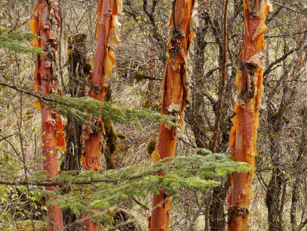Betula albosinensis - panda birch   [OLF] Trees   Pinterest   Birch ...
