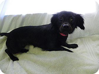 Waldorf Md Cocker Spaniel Mix Meet Julie A Dog For Adoption