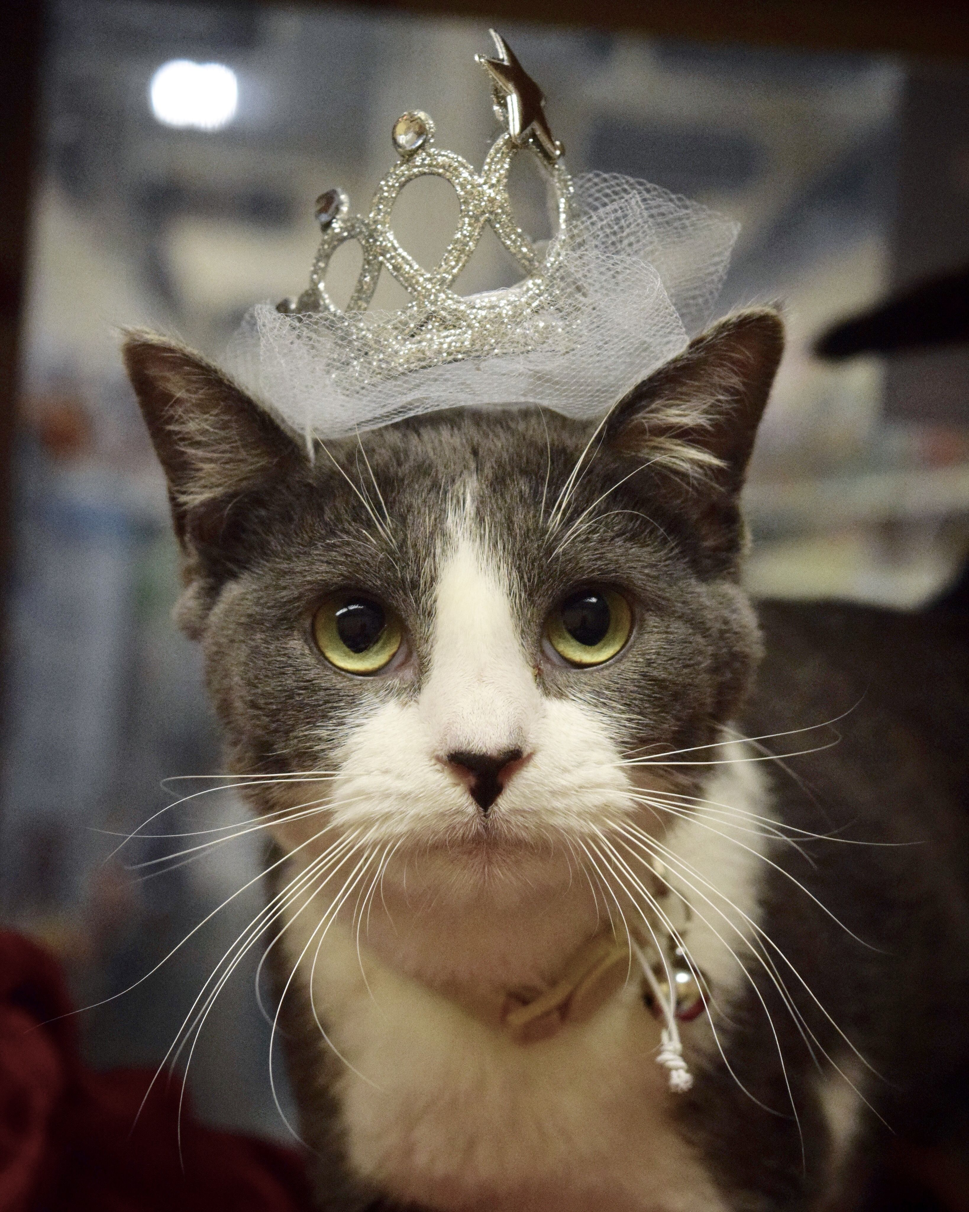 Adopt Olivia North Conroe Petsmart On In 2020 Cat Adoption Petsmart Homeless Pets