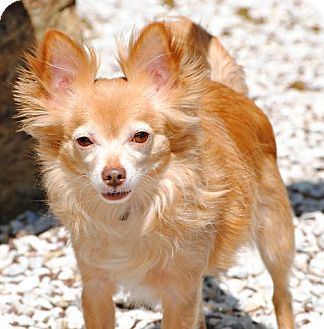 Pembroke Ga Chihuahua Papillon Mix Meet Cheech A Dog For
