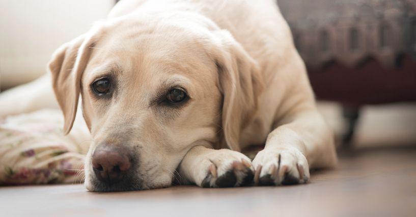 Dog diarrhea in labrador dogs dogs ears infection labrador