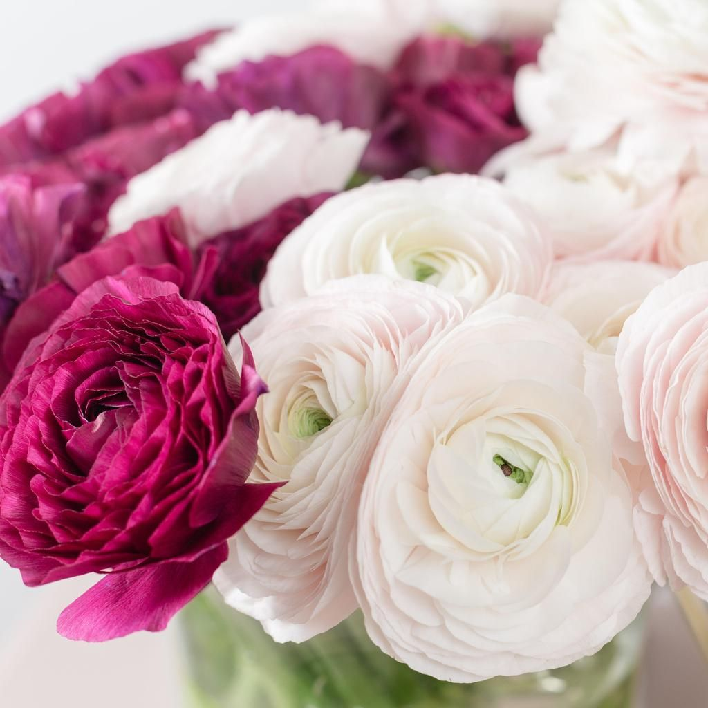 Ranunculus Tecolote Very Berry Collection Easy To Grow Bulbs Carlsbad Flower Fields Berries