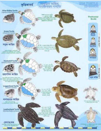 Sea Turtles Identification Google Ɛœç´¢ Sea Turtle Turtle Sea Turtle Pictures