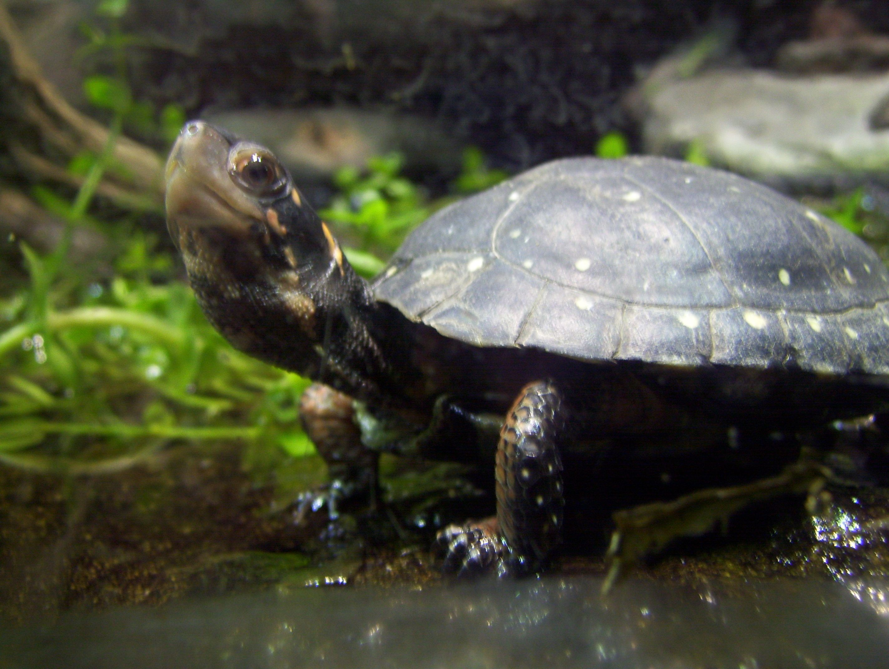 Spotted turtle the nc zoo turtles pinterest spotted spotted turtle the nc zoo publicscrutiny Choice Image