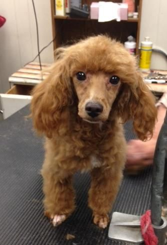 Adopt Dijon On Dog Grooming Pets Adoption