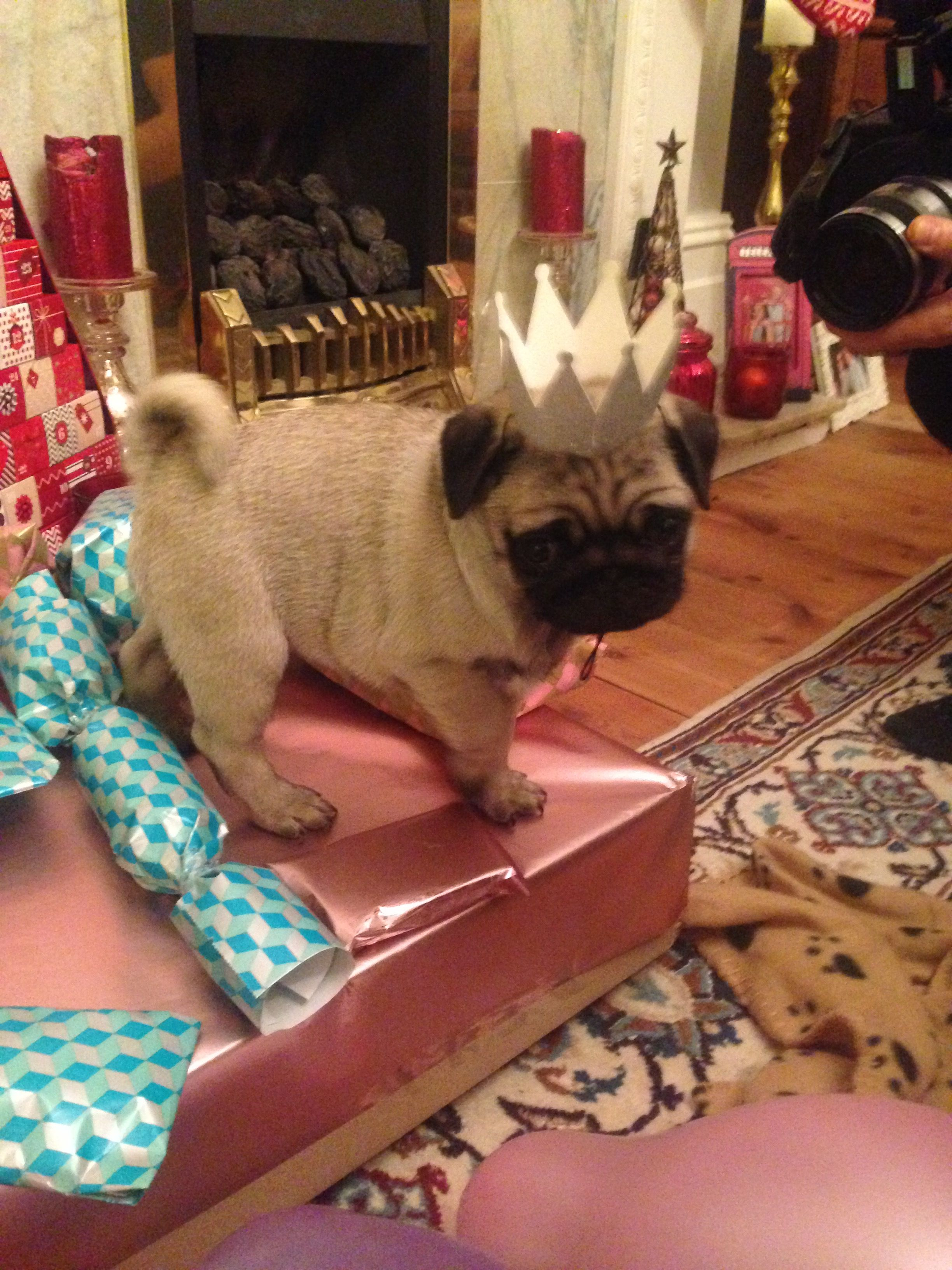 5f93331bb03 Pug puppy captain party hat birthday surprise
