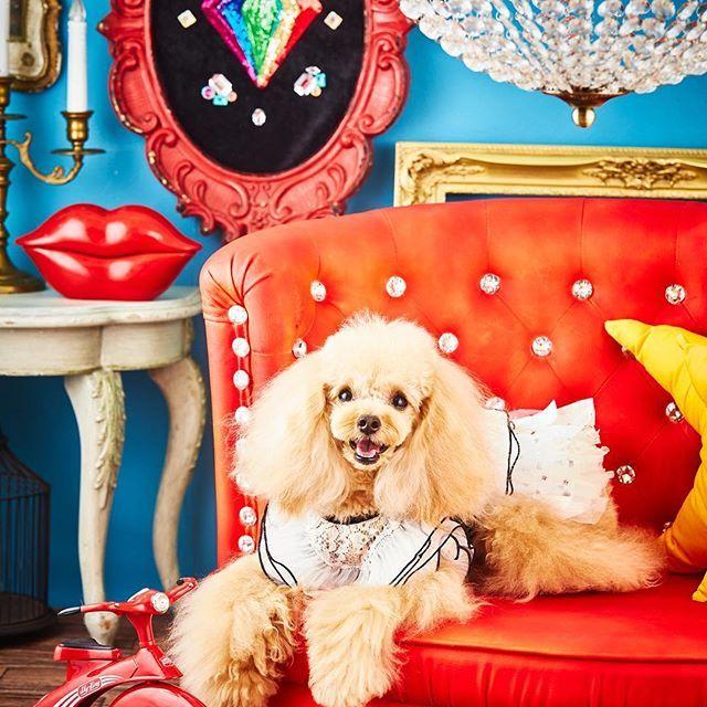 Puppilyhillstokyo Puppilyhills 渡部カメラマン 撮影会 パピリーヒルズ 有り難う御座います パピリーヒルズ東京 可愛い 愛犬 犬 トイプードル Dog Doglover Doglove Doglife Dogfashion Toypoodle Inst 可愛い犬 可愛い 犬