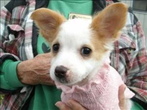 Twinkle Is An Adoptable Shetland Sheepdog Sheltie Dog In Visalia