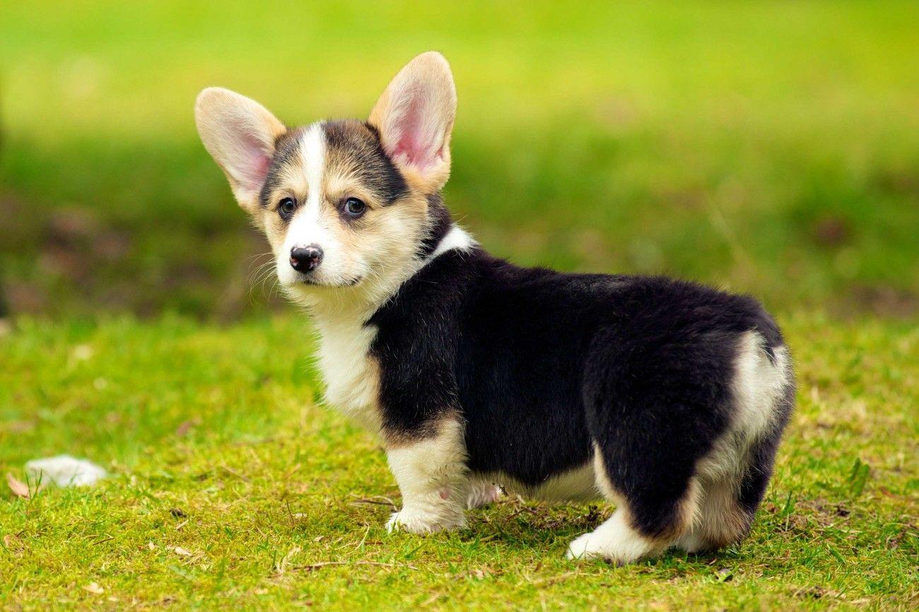 Cutest Pembroke Welsh Corgi Puppies Wallpaper Cute Small Dogs Welsh Corgi Puppies Cute Dogs Breeds
