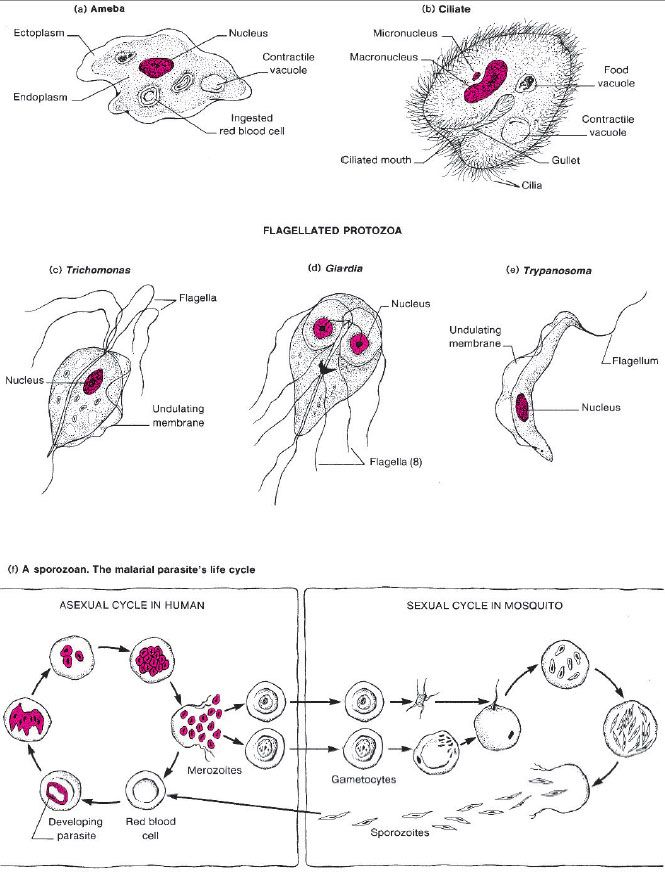 Diagrams of four types of protozoa. (a) An active ameba ...